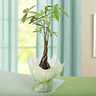 Lovely Braided Pachira Bonsai: Bonsai Plants