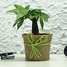 Lucky Money Tree: Good Luck Plants for Thank You