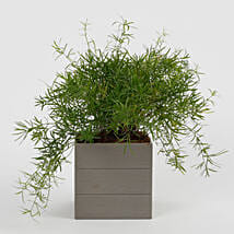 Lush Green Asparagus Plant in Melamine Textured Pot: