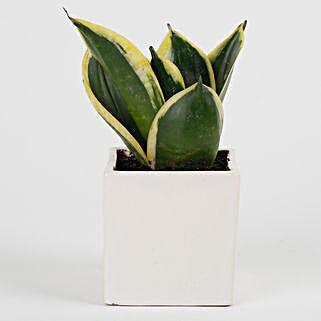 MILT Sansevieria Plant in Mini Cube Ceramic Pot: Tropical Plant Gifts