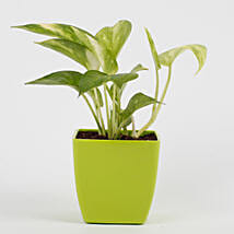 Money Plant in Imported Plastic Pot: Send Plants for House Warming