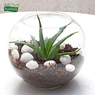 Multipurpose Aloe Vera Plant Terrarium: Medicinal Plant