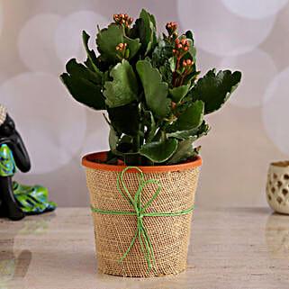 Orange Kalanchoe Plant: Home Decor Gifts for Christmas