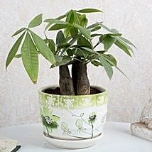 Pachira 3 in 1 Bonsai Plant: Premium & Exclusive Gift Collection
