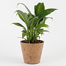 Peace Lily Plant in Coconut Husk Pot: Air Purifying Plants