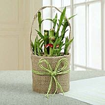 Perfect Lucky Bamboo Plant: Lucky Bamboo for Friendship Day
