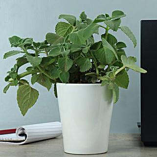 Potted Ajwain Plant: Herbs & Medicinal Plants