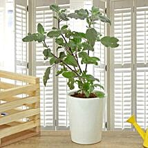 Potted Basil Plant: Potted Plants