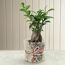 Potted Ficus Bonsai Plant: Send Plants to Ghaziabad