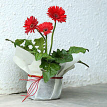 Potted Red Gerbera Plant: Flowering Plants