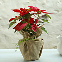 Potted Red Poinsettia Plant: Flowering Plants