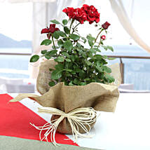 Potted Rose Plant: Send Plants to Indore