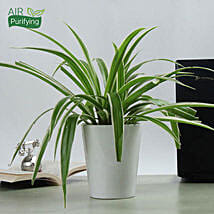 Potted Spider Plant: Today Delivery of Plants