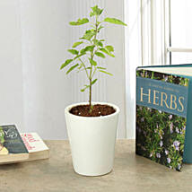 Potted Tulsi Plant: Good Luck Plants for Thank You