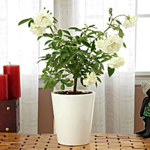 Potted White Rose Plant: