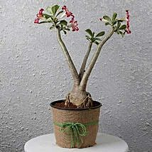 Pretty Desert Rose Bonsai Plant: Premium Plants