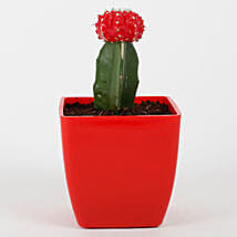 Red Grafted Cactus Plant: Exotic Plants