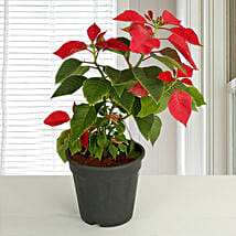 Red Poinsettia Plant Love: Home Decor Gifts for Christmas