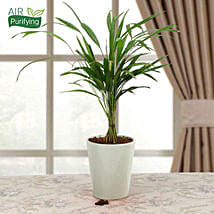 Refresh Areca Palm: Send Indoor Plants
