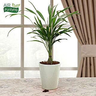 Refresh Areca Palm:
