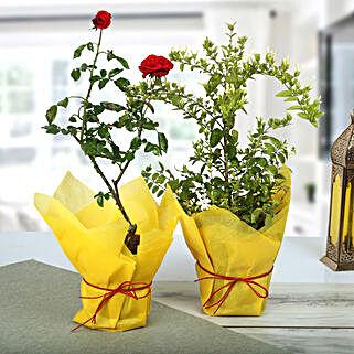 Rose N Jasmine Plant: Spiritual Gifts for Bhai Dooj