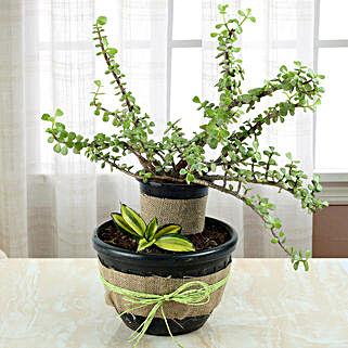 Sansevieria And Jade Dish Garden: