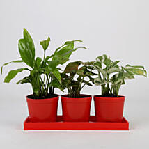 Set of 3 Foliage Plants in Red Pots: Flowering Plants