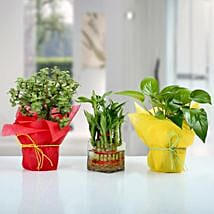 Set of 3 Good Luck Plants: Send Plants to Patna
