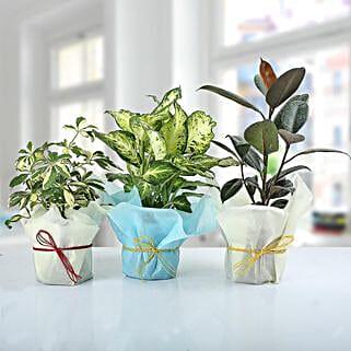 Set of 3 Lush Plants: Send Plants for Him