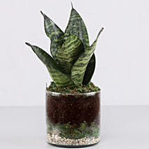 """Snake Plant 4"""" Glass Terrarium: Send Anniversary Gifts for Clients"""