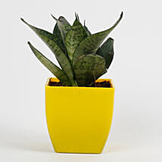 Snakeskin Sansevieria Plant in Imported Plastic Pot: Send Plants for Birthday