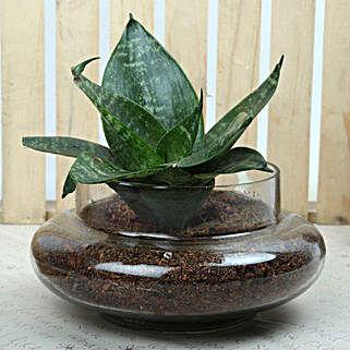 Soothing Sansevieria Trifasciata Terrarium: Terrariums Plants
