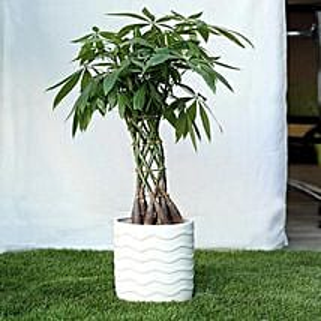 Sophisticated Basket Pachira Bonsai Plant: Premium Plants