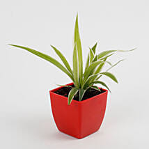 Spider Plant in Imported Plastic Pot: Send Indoor Plants