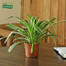 Spider Plant: Potted Plants