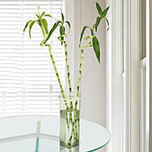 Spiral Bamboo Plant: Good Luck Plants for Thank You