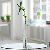 Spiral Bamboo Stick: Good Luck Plants for Her
