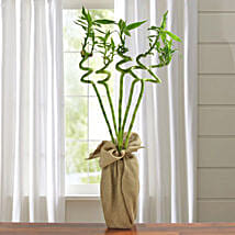 Spiral Lucky Bamboo Plant: Good Luck Plants for Mothers Day