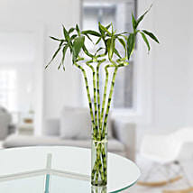 Spiral Stick Lucky Bamboo: Good Luck Plants for Thank You