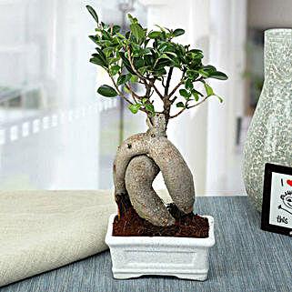 Splendid Ficus Ginseng Bonsai Plant: Bonsai Plants