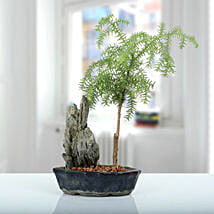 Stony Araucaria Bonsai Plant: Christmas Trees & Poinsettias