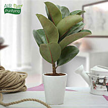 Stunning Rubber Plant: Air Purifying Plants