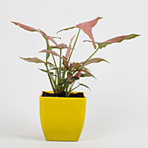 Syngonium Pink Plant in Imported Plastic Pot: Plants for Living Room