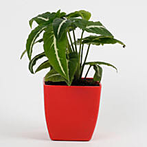 Syngonium Wedlendi Plant in Imported Plastic Red Pot: Cactuses & Succulents