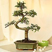 Thoughtful Elm S Shape Bonsai Plant: Gift Delivery in Etah