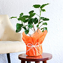 Tropical Hibiscus Plant: Send Shrubs