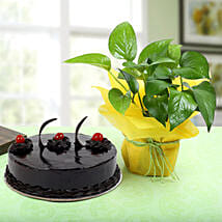 Truffle Cake With Money Plant: Money Plant