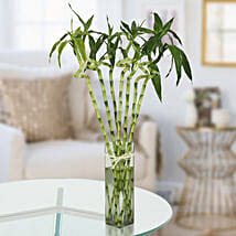Twisted Lucky Bamboo Plant: Gifts for Family