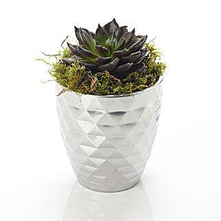 Potted Succelent Plant: Flower Arrangements in New Zealand