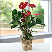Red Anthurium Jute Wrapped Potted Plant: Xmas Gift Baskets to Singapore